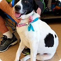 Labrador Retriever/Pointer Mix Dog for adoption in Lafayette, Louisiana - Snoopy