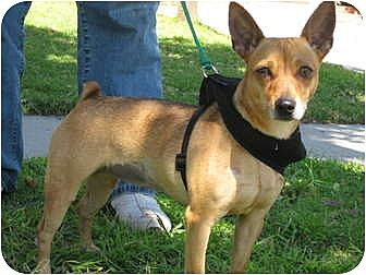Miniature Pinscher/Chihuahua Mix Dog for adoption in Los Angeles, California - Ginger