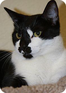 Domestic Shorthair Cat for adoption in Phoenix, Arizona - Alfie