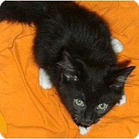 Adopt A Pet :: Sheba - Port Republic, MD