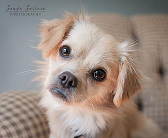 Tibetan Spaniel/Japanese Chin Mix Dog for adoption in Houston, Texas - Betsy and Wookie