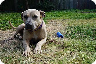 American Staffordshire Terrier Mix Dog for adoption in Wellesley, Massachusetts - Nala