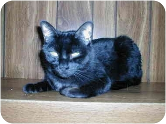 Domestic Shorthair Cat for adoption in Toronto, Ontario - Nibbles