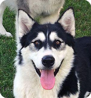 Alaskan Malamute Dog for adoption in Boise, Idaho - JAZZ - Adoption Pending