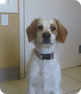 Brittany Mix Dog for adoption in Ridgway, Colorado - Maysie