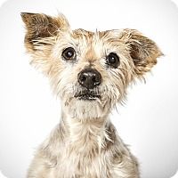Adopt A Pet :: Yoda - New York, NY