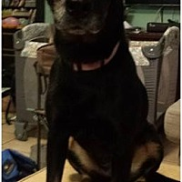 Labrador Retriever Mix Dog for adoption in Chandler, Arizona - JASMINE 3