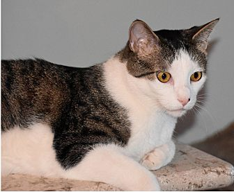 Domestic Shorthair Cat for adoption in Lombard, Illinois - Tony