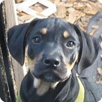 Adopt A Pet :: Corky!  Puppy - St Petersburg, FL
