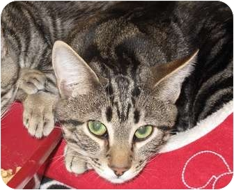 Domestic Shorthair Cat for adoption in Port Republic, Maryland - CocoPuff