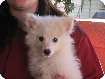 American Eskimo Dog Puppy for adoption in Salem, New Hampshire - Anneliese