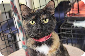 Domestic Shorthair Cat for adoption in Byron Center, Michigan - Bijal