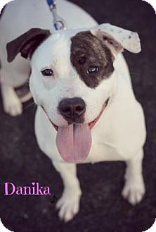 American Pit Bull Terrier Mix Dog for adoption in Niagara Falls, New York - Danika