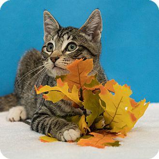 Domestic Shorthair Kitten for adoption in Houston, Texas - Howie