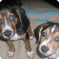 Adopt A Pet :: MAY'S MALE PUPS - Ventnor City, NJ