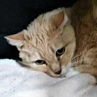 Adopt A Pet :: Josephine - Asheville, NC