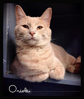 Domestic Shorthair Cat for adoption in Hartford City, Indiana - Oriole