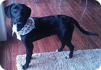 Pointer/Labrador Retriever Mix Puppy for adoption in Huntsville, Ontario - Autumn - Puppy!