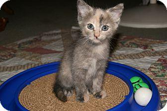 Domestic Shorthair Kitten for adoption in Trevose, Pennsylvania - Tia