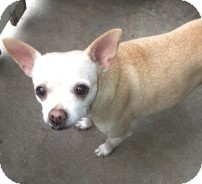 Chihuahua Dog for adoption in Sun Valley, California - Nona