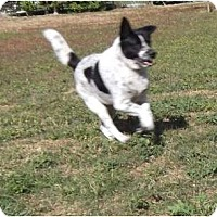 Australian Cattle Dog/Border Collie Mix Dog for adoption in Key Biscayne, Florida - Romeo