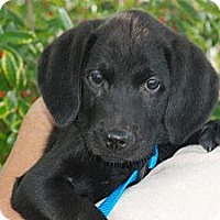 Adopt A Pet :: Porter - Albany, NY