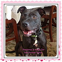 Bulldog/Labrador Retriever Mix Dog for adoption in Myakka City, Florida - Awesome