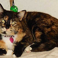 American Shorthair Cat for adoption in Burgaw, North Carolina - Gizmo