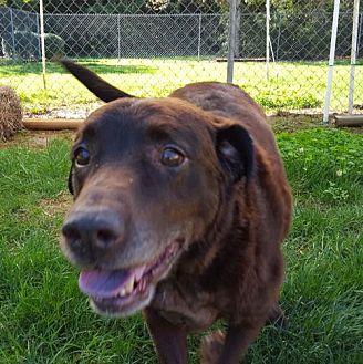Labrador Retriever Dog for adoption in Rock Hill, South Carolina - Coco