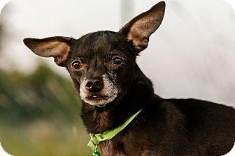Chihuahua Dog for adoption in Warner Robins, Georgia - Jake