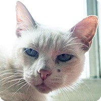 Siamese Cat for adoption in Austin, Texas - Penny