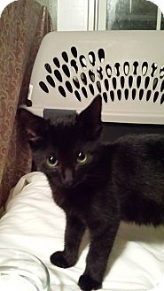 Domestic Shorthair Cat for adoption in Clarkson, Kentucky - Fig