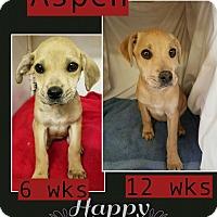 Adopt A Pet :: Aspen pending adoption - Manchester, CT