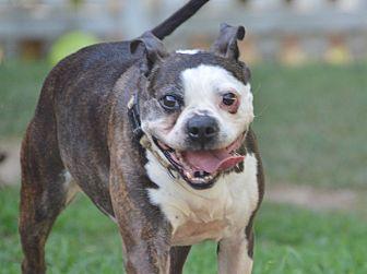 Boston Terrier/Bulldog Mix Dog for adoption in Courtland, Alabama - Mr. Bongo