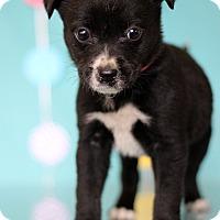 Adopt A Pet :: Donatella - Waldorf, MD