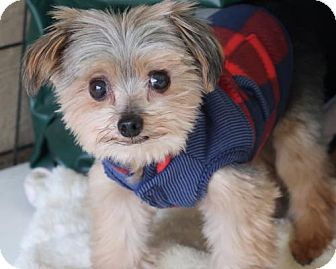Yorkie, Yorkshire Terrier Mix Dog for adoption in New City, New York - Phoenix