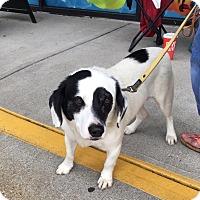 Adopt A Pet :: Spot: Covington - Cincinnati, OH