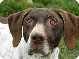 German Shorthaired Pointer Mix Dog for adoption in Meridian, Idaho - Bows
