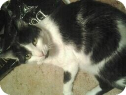 Domestic Shorthair Cat for adoption in Fairborn, Ohio - Gunner-Cemetery Rescues