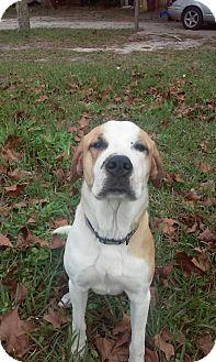 Great Pyrenees/Catahoula Leopard Dog Mix Dog for adoption in Ocala, Florida - Buddy