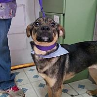Boston Terrier Mix Dog for adoption in Godfrey, Illinois - Parker