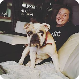 English Bulldog Dog for adoption in Decatur, Illinois - Bruce