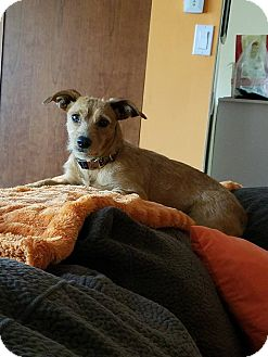 Yorkie, Yorkshire Terrier Mix Dog for adoption in ST LOUIS, Missouri - Eden