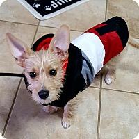 Adopt A Pet :: Samson - Knoxville, TN