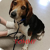 Adopt A Pet :: TOMMY - Ventnor City, NJ