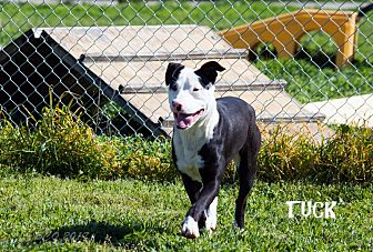 Pit Bull Terrier Mix Dog for adoption in Patterson, California - Tuck