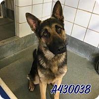 Adopt A Pet :: BULLET - San Antonio, TX