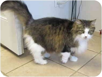 Domestic Longhair Cat for adoption in Pascoag, Rhode Island - April