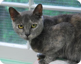 Domestic Shorthair Cat for adoption in Lunenburg, Massachusetts - Sarah