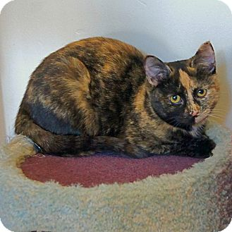American Shorthair Cat for adoption in Victor, New York - Lily